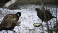 Stock Video Footage of two choosy male Common Pheasant