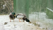 Two male Mallard crawling Stock Footage
