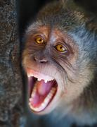 Portrait of aggressive monkey close up Stock Photos