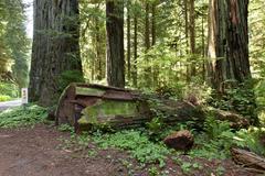 Redwoods hwy-101 california. Stock Photos