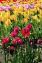 Stock Photo of Field of colorful tulips.