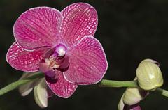 orchid purple on black, phalaenopsis - stock photo