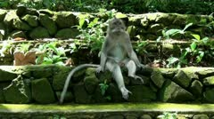 Macaque on stone wall Stock Footage