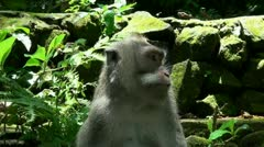 Macaque close up Stock Footage