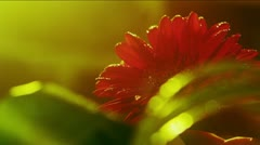 Florist spraying red Gerbera Daisy (Flower). Stock Footage