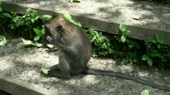 Eating Monkey on stone stairs Stock Footage