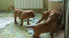 Group Bordeaux mastiff puppies Stock Footage
