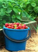 Strawberry in blue bucket Stock Photos