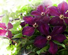 Beautifully blossoming violet clematis Stock Photos
