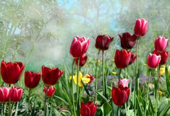 spring tulips blooming in the garden - stock photo