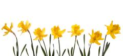 Spring narcissus Stock Photos