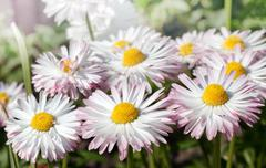 white marguerites - stock photo