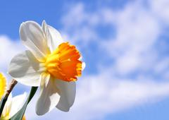 Spring narcissus flower Stock Photos
