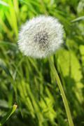 White dandelion Stock Photos