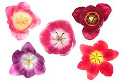 Different color tulips Stock Photos