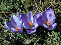beautiful spring crocuses flowers - stock photo