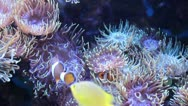 Clown fishes anemones Stock Footage