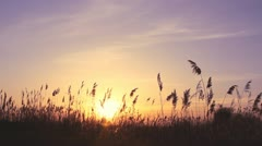 High reed against sunset sky in wind day Stock Footage