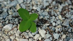 Four leaf of the good luck Stock Footage