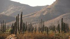 Baja Mexico Giant cactus and mountains Stock Footage