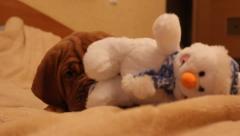 Puppy dog breed dogue de bordeaux Stock Footage