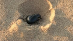 Scarab beetle digs hole in sand - macro Stock Footage