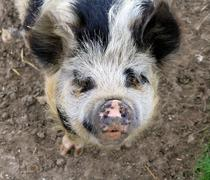 Friendly Pig - stock photo