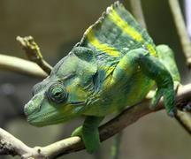 Chameleon - stock photo
