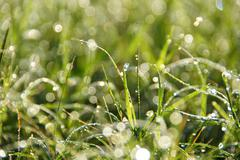 Flower grass and dew impact sunlight in the morning. Stock Photos