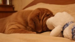 Puppy dog breed dogue de bordeaux Stock Footage