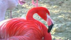 Flamingo Closeup - stock footage