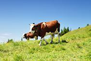 Alpine cows in summer Stock Photos