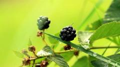Blackberries. Stock Footage