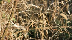 Silent rustle dry grass in autumn Stock Footage