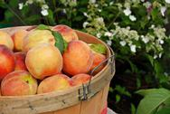 Basket of peaches Stock Photos