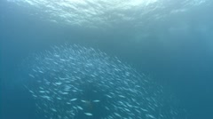 Stock Video Footage of Large school of fish scatter then swim to camera