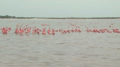 Flock of Flamingos Swimming And Feeding 18 Stock Footage