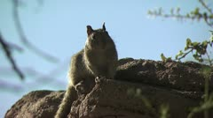 Squirrel On Top Of Rock Stock Footage