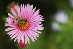 One aster flower with bee - stock photo