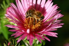 Bee collect pollen from the pink aster flower Stock Photos
