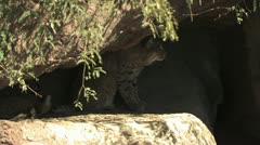 Bobcat In The Shade Of Rocks 2 Stock Footage