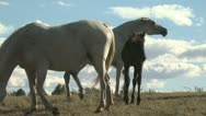 Stock Video Footage of Colts and Mares On A Hilltop