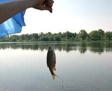 River fish on a hook. Stock Photos