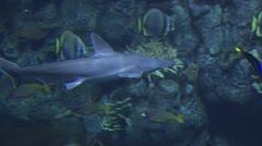 Hammer Head Shark Swimming Near A Reef Stock Footage