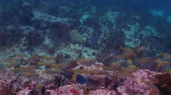 School of Fish Near Red Coral Reef Stock Footage