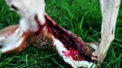 Close-up of white female greyhound eating a hare after hunt - stock footage