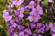 Stock Photo of small violet flowers