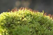 Stock Photo of moss sporangiums macro