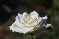 rose - stock photo
