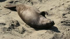 Elephant Seals 5 Stock Footage